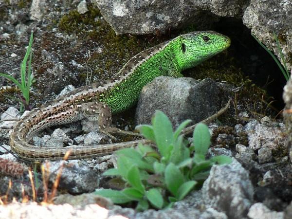 Místo drobné šlechty dnes na Zásadce žijí pouze drobní živočichové, na fotografii je sameček ještěrky obecné.