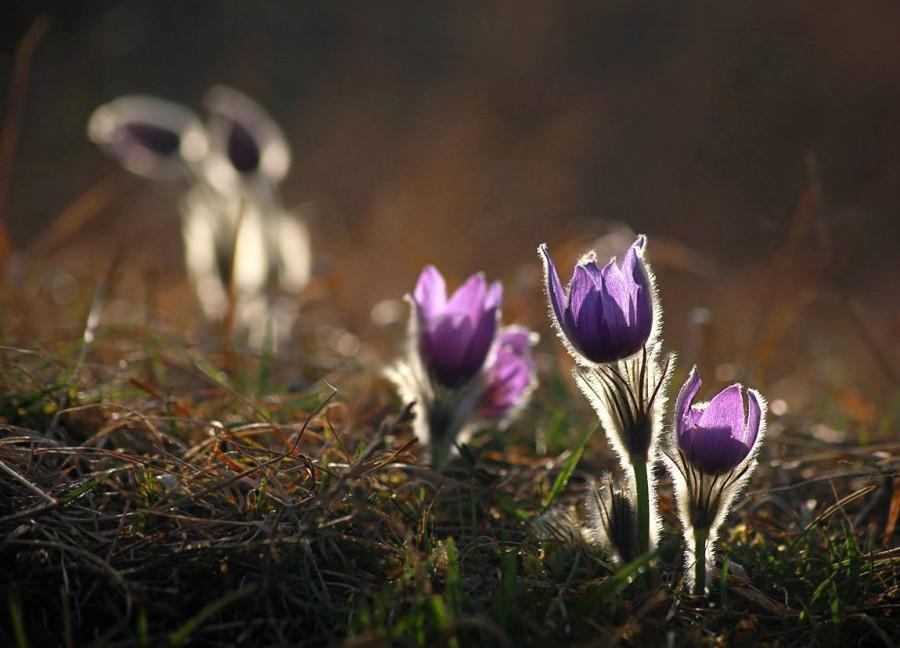 Bude Květná neděle, začíná Svatý týden. Koniklec se anglicky jmenuje Pasque Flower (Velikonoční květ)
