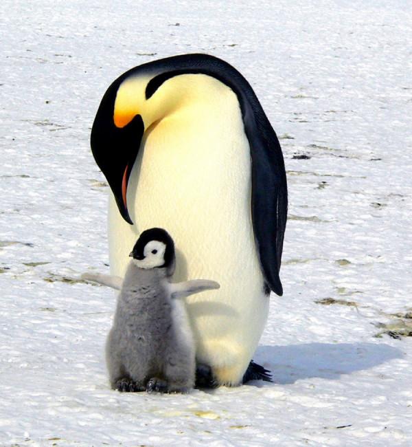 Není náhodou tento dospělý tučňák, který se stará o odložené mládě? :-)