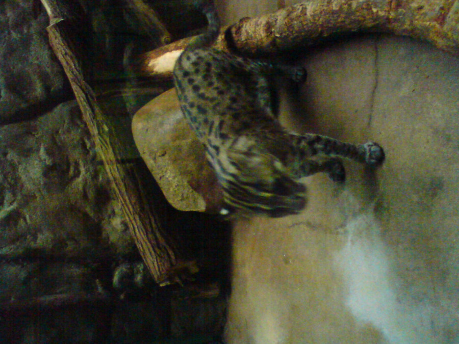 Moje malá velká láska kočka rybářská. Šelmičky moc miluji.