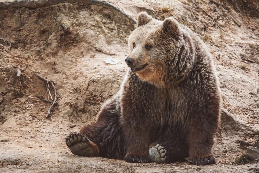 Medvěd hnědý v ZOO Tábor