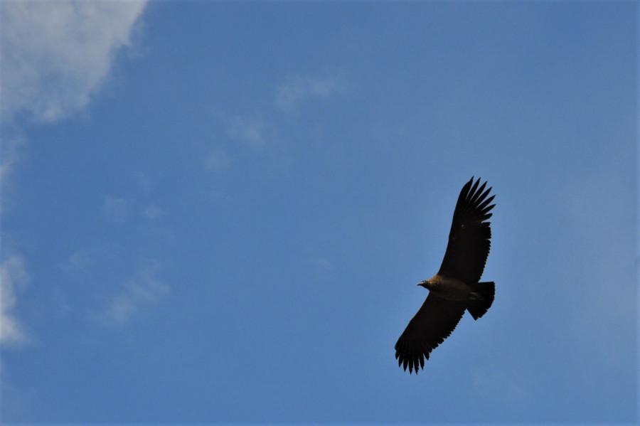Letící kondor andský