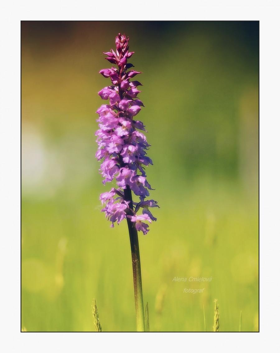 Vstavač mužský, (Orchis mascula subsp. signifera)