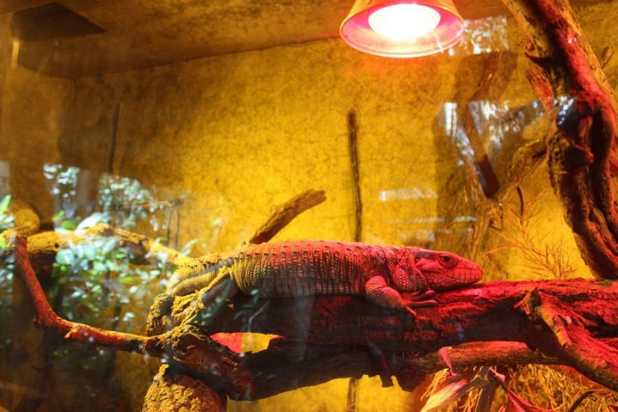 Dracéna krokodýlovitá.