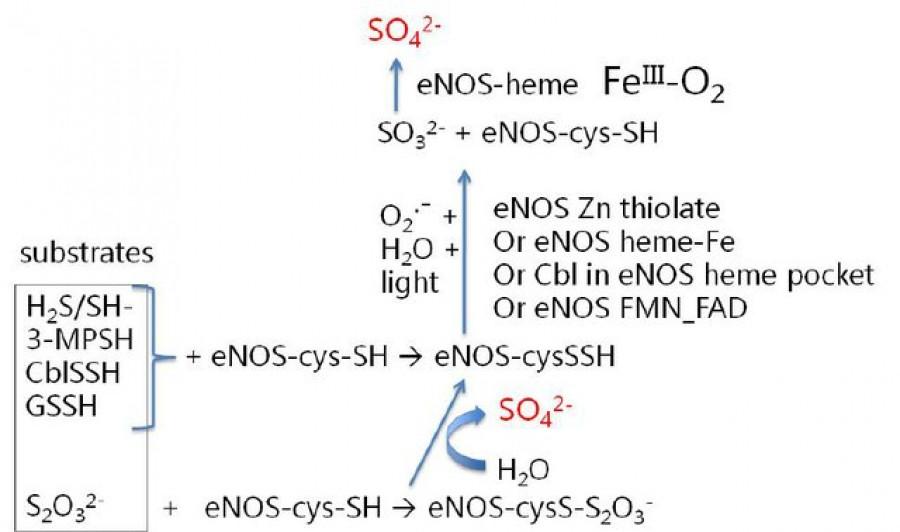 Schéma syntezy sulfátů pomocí enzymu NOS