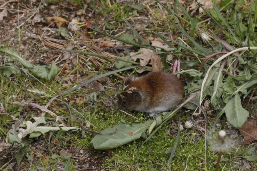 Ona -  myška Hrabalka.