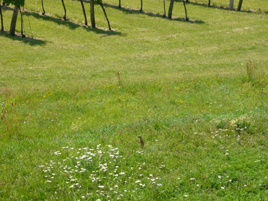 das ist ein klein Mulmertier - neboli svišť rakouský (omluvte případné gramatické chyby)
