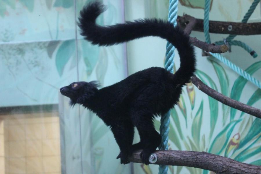 Lemur černý v pavilonu opic.