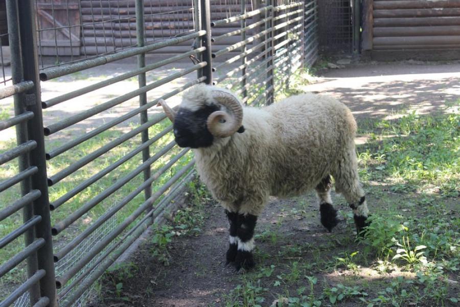 Ovce domácí walliserská.