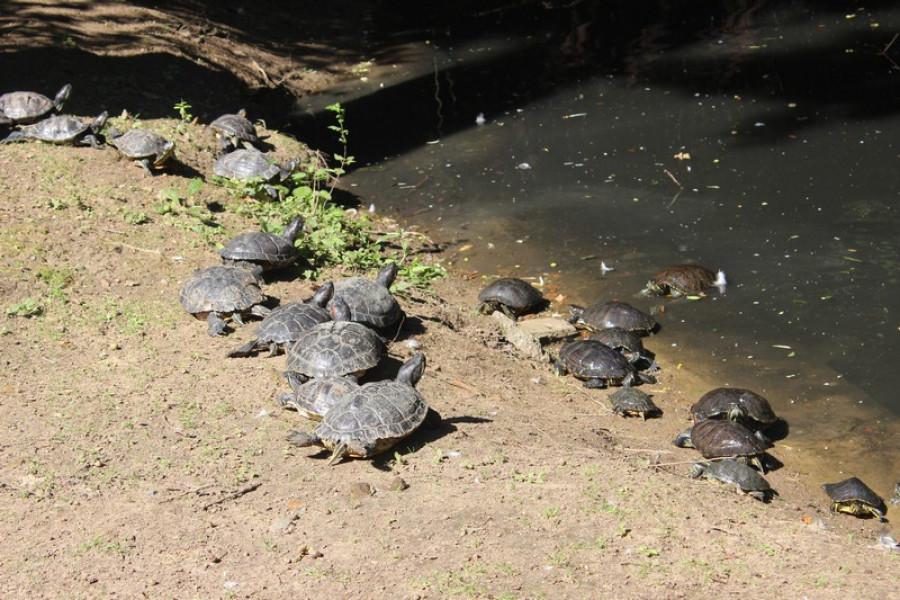 Želvy žijí pohromadě s černou labutí.